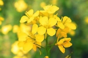 mustard_fioridibach_althea