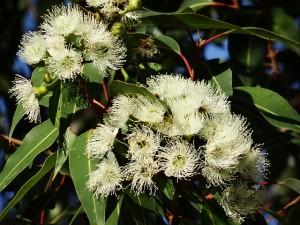 eucalyptus-flower-777903_640
