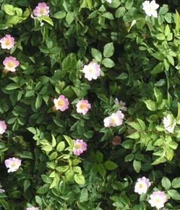 wild_rose_pianta